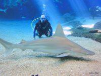 Shark Dive w Sandbar Shark_cr_Joshua Blue