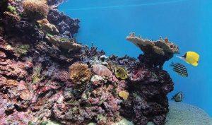 ハワイ島西部コナ・コーストの珊瑚礁を再現した展示