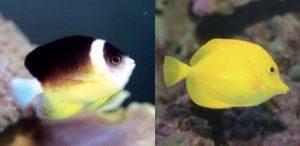 ハワイの珊瑚礁に生息する熱帯魚
